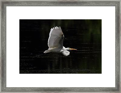 Egret In Flight Framed Print by Mike Farslow