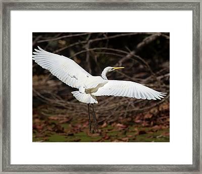 Egret In Flight Framed Print by Mr Bennett Kent