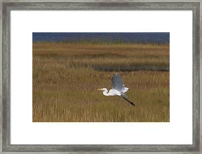 Egret In Flight Over Swamp Grass Framed Print