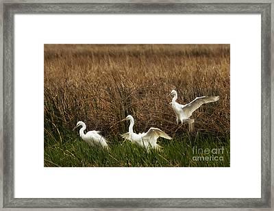 Egret Landing Framed Print by Belinda Greb