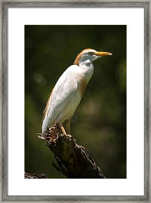 Cattle Egret Perched On Dead Branch Framed Print