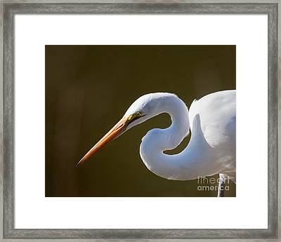 Egret Portrait-2 Framed Print by Dale Nelson
