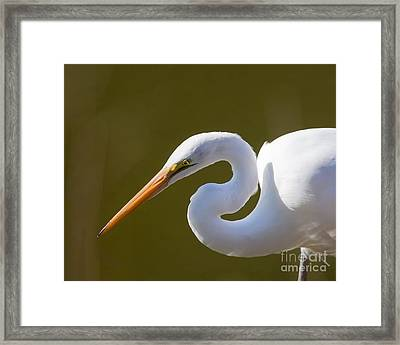 Egret Portrait Framed Print by Dale Nelson