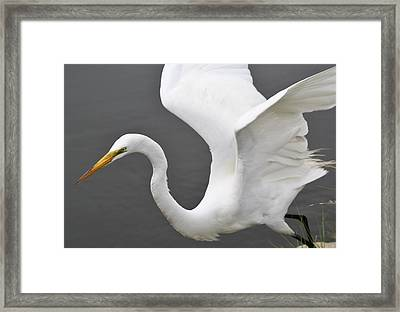 Egret Take Off Framed Print by Paulette Thomas