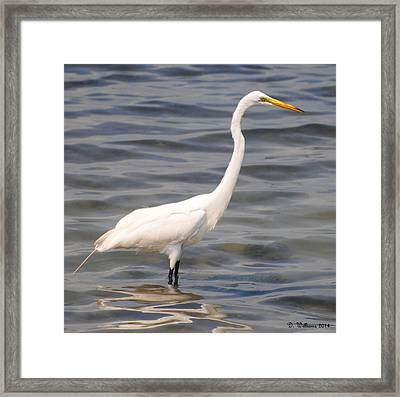 Egret Wading And Watching Framed Print