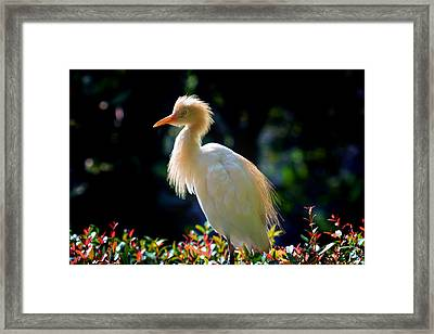 Egret With Back Lighting Framed Print