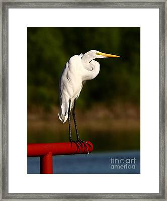 Egret With Knot In Neck Framed Print