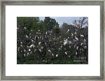 Egrets And Anhingas Framed Print by Mark Newman