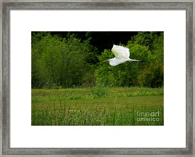 Egret's Flight Framed Print