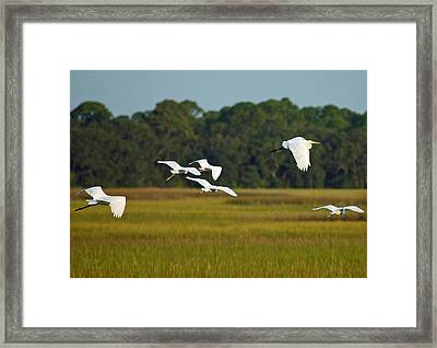 Egrets In Flight On Jekyll Island Framed Print by Bruce Gourley