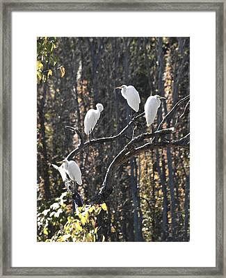 Egrets Framed Print by Valerie Wolf