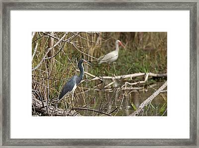 Egretta Tricolor Framed Print