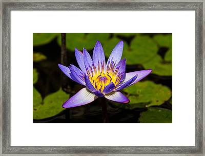 Egyptian Blue Water Lily  Framed Print by Scott Carruthers