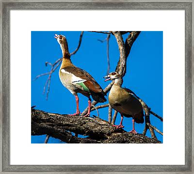 Egyptian Geese Framed Print by Craig Brown