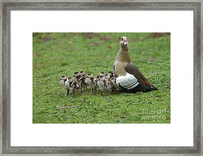 Egyptian Goose And Goslings Framed Print by Helmut Pieper