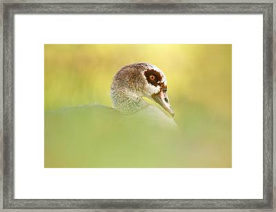 Egyptian Goose In Autumn Mood Framed Print by Roeselien Raimond