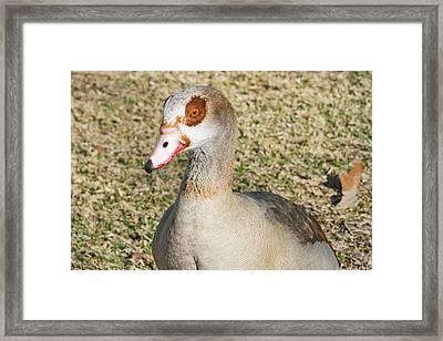 Egyptian Goose  Framed Print by Shoal Hollingsworth