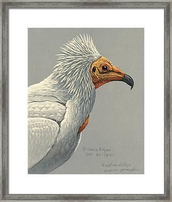 Egyption Vulture Framed Print by Rob Dreyer