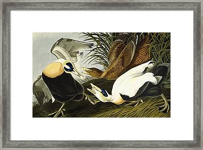 Eider Ducks Framed Print