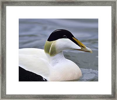 Eider Up Framed Print by Tony Beck