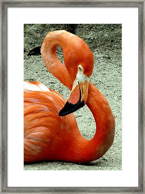 Figure Eight Flamingo Framed Print