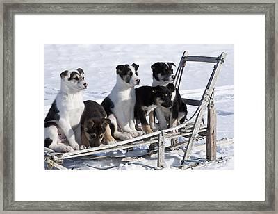 Eight Week Old Iditarod Husky Pups Sit Framed Print by Jeff Schultz