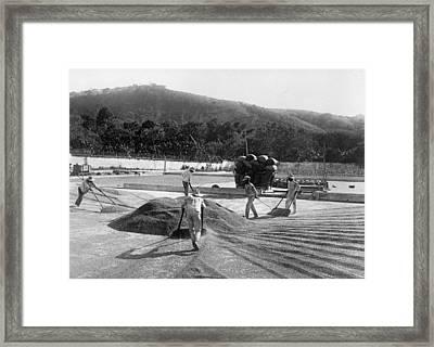 El Salvador Coffee, C1915 Framed Print by Granger