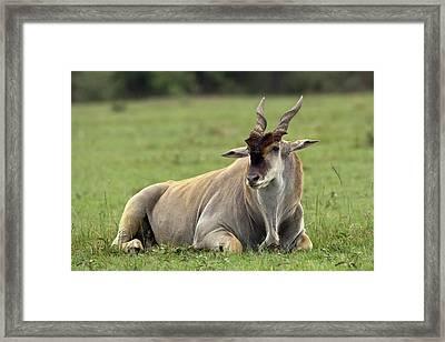 Eland (taurotragus Oryx Framed Print by Adam Jones