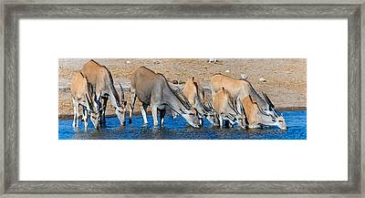 Elands At Waterhole, Etosha National Framed Print by Panoramic Images