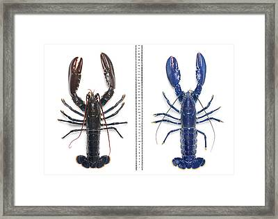 Electric-blue European Lobster Framed Print by Natural History Museum, London