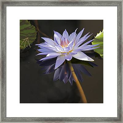 Electric Blue Pond Lilly Framed Print