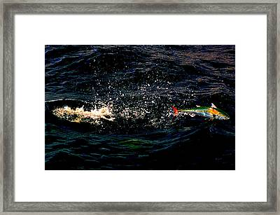 Electric Bonito Framed Print by Ken  Collette