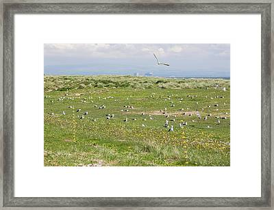 Electric Fence To Protect Nesting Gulls Framed Print