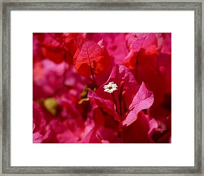 Electric Pink Bougainvillea Framed Print by Rona Black
