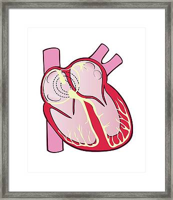 Electrical Conduction System Of The Heart Framed Print by Jeanette Engqvist