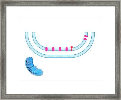 Electron Transport System Framed Print by Science Photo Library