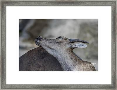 Elegance Of The Ibex Framed Print by Michelle Meenawong