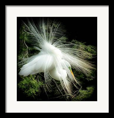 Tail Feather Framed Prints