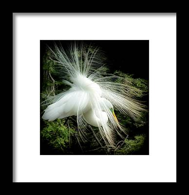 Snowy Egret Framed Prints