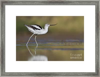 Elegant Avocet Framed Print by Bryan Keil