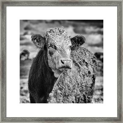 Elegant Cow Framed Print by John Farnan