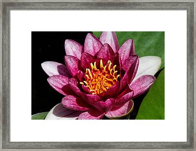 Elegant Lotus Water Lily Framed Print