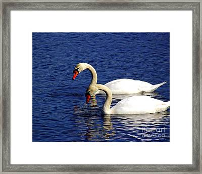 Elegant Swan Pair  Framed Print by CapeScapes Fine Art Photography