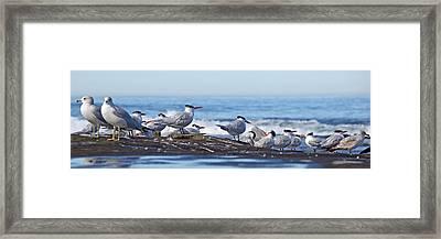 Elegant Terns La Jolla Framed Print