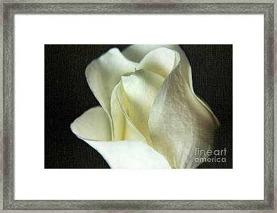 Elegant White Rose Textured Framed Print by Eden Baed