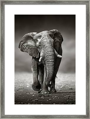 Elephant Approach From The Front Framed Print by Johan Swanepoel