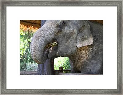 Elephant At Maesa Elephant Camp - Chiang Mai Thailand - 011311 Framed Print