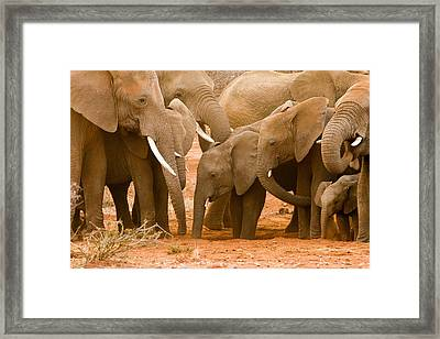 Elephant At The Hotspot Framed Print by Phil Stone