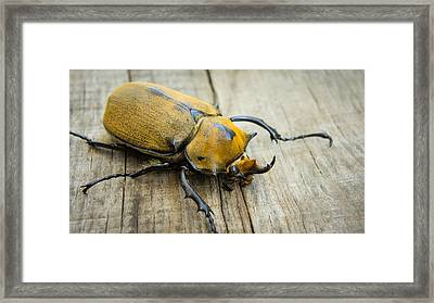 Elephant Beetle Framed Print