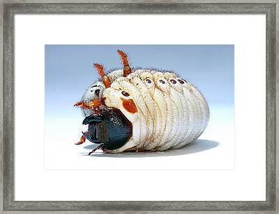 Elephant Beetle Grub Framed Print by Tomasz Litwin